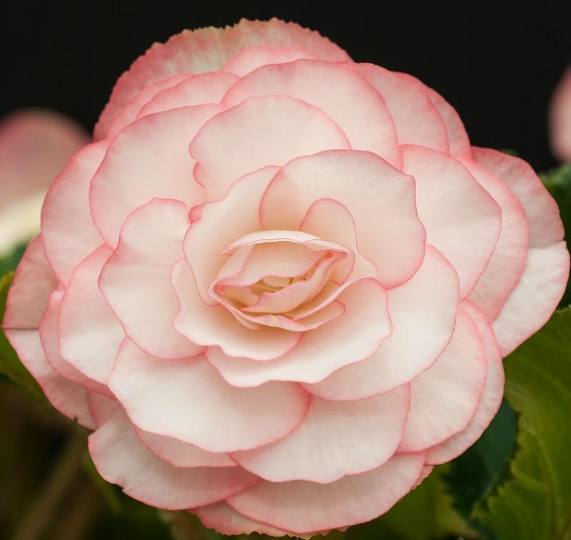 Begonia - Pink Halo On Top - 2 tubers