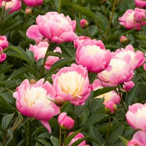 Peony - Bowl of Beauty