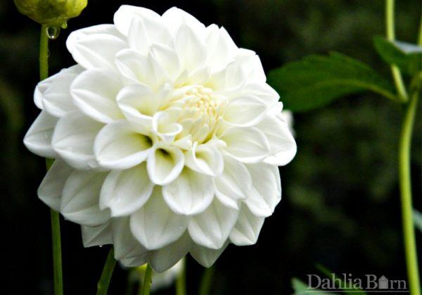 White Fawn Dahlia