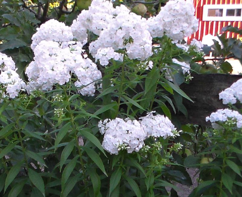 Phlox - White