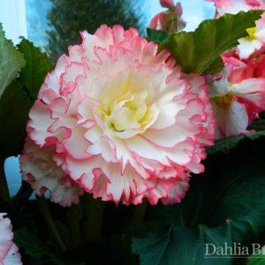 Pink & White Begonia