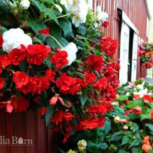 Begonia_Red_Pendula_Dahlia_Barn