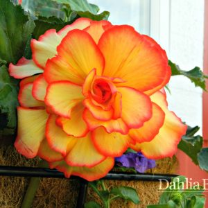 Begonia Sunburst