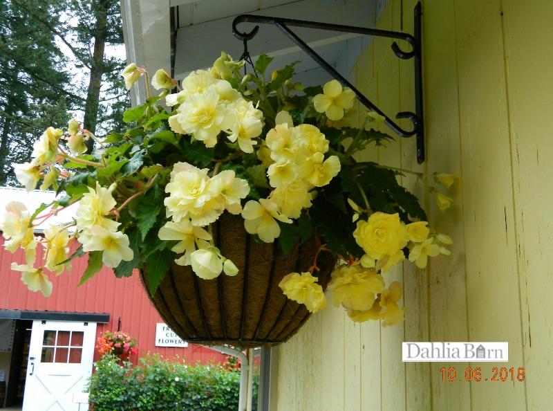 Begonia_Yellow_Pendula_Dahlia_Barn