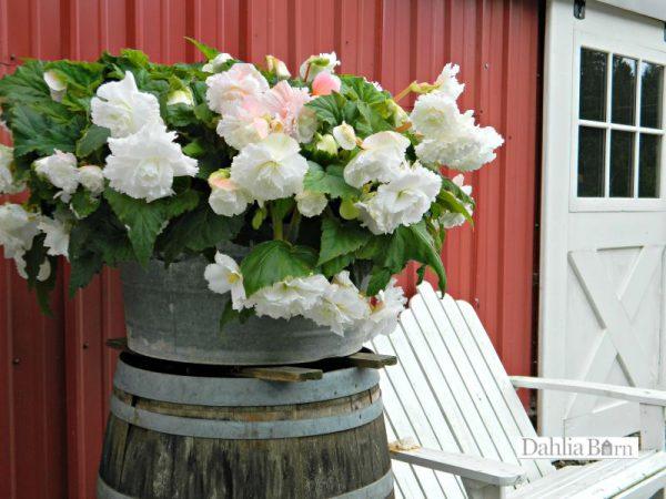 Begonia White Ruffled