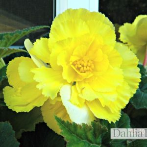 Tuberous Begonia Yello Ruffled