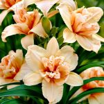Double Dream Daylily