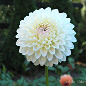 White Linda Dahlia