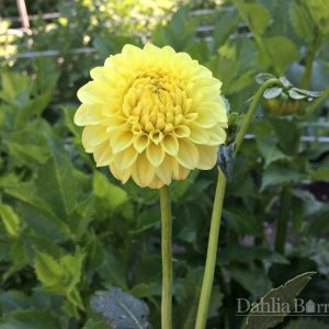 Pineapple_Lollipop_Dahlia_Barn