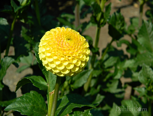 Buttercup dahlia