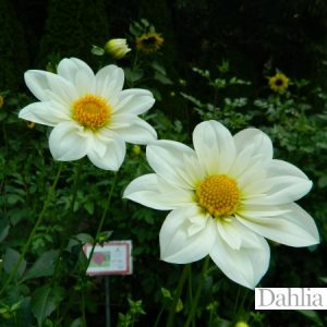 Alpen Cherub Dahlia