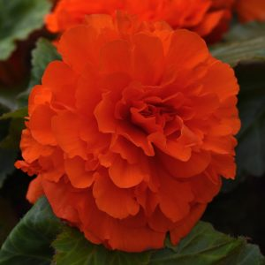 Begonia Orange Ruffled