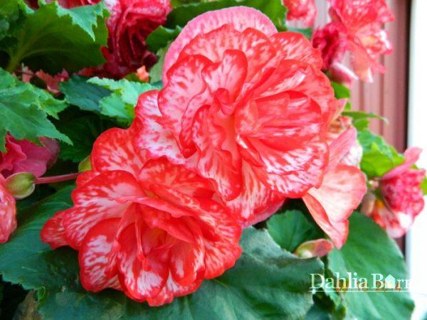 Begonia_Flamenco_Picotee_Dahlia_Barn2