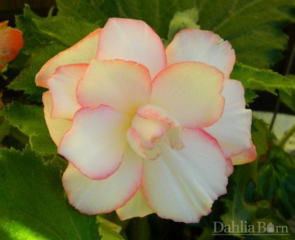 Begonia_Picotee_Calypso_Dahlia_Barn2014