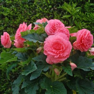 Begonia_Pink_Ruffled_Amerihybrid