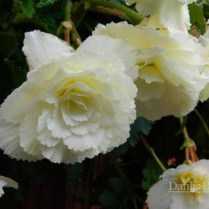 Begonia_White_Pendula_Dahlia Barn