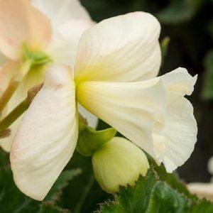 Begonia Daffodil white
