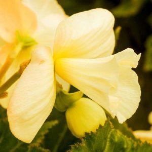 Begonia Daffodil Yellow