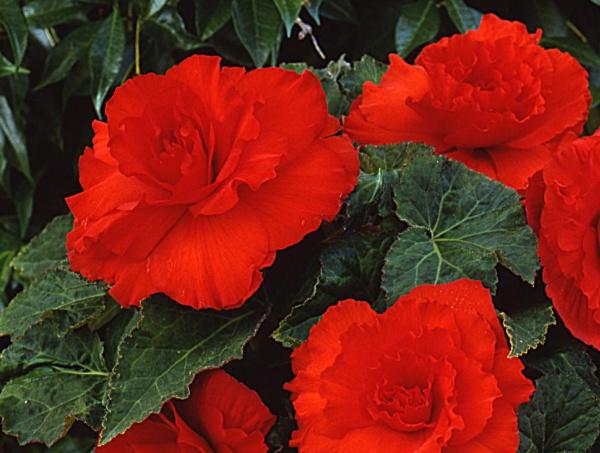 Begonia Red Ruffles