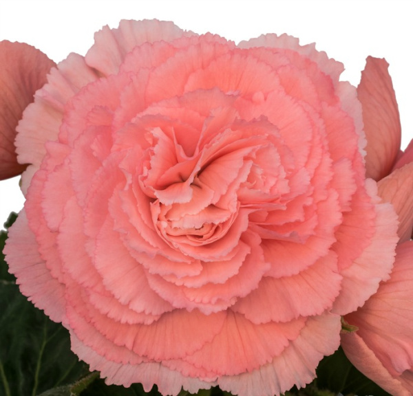 Begonia_pink_ruffled
