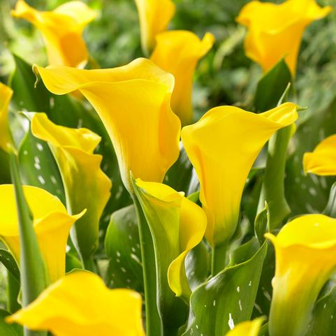Calla Lily Florex Gold
