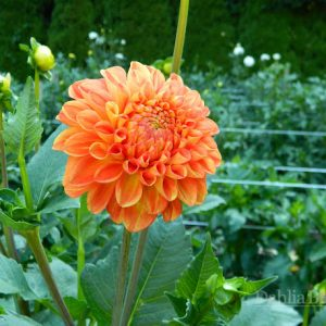 Orange_Symphony_Dahlia_Barn_2