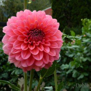 Pink_Runner_Dahlia_Barn